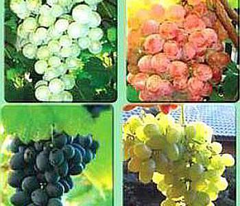 Виноградная лоза, выращивание, выбор сорта