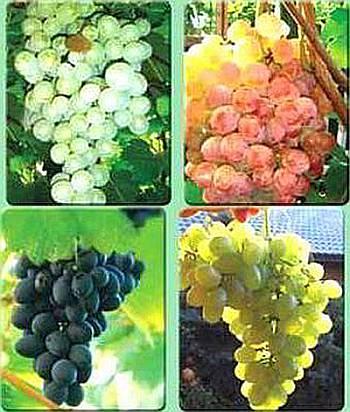 Виноградная лоза выбор сорта