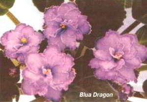 сорт Blua Dragon