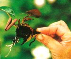 Молодая розетка нимфеи, отделена от материнского растения