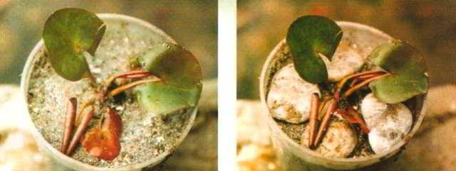 Розетка, высажена в горшок