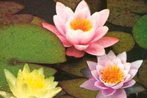 Кувшинка нимфея (водяная лилия) - посадка, уход, размножение, зимовка нимфей