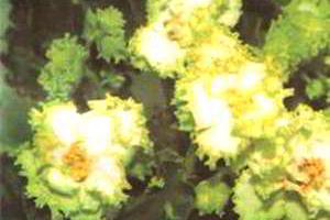 Пересадка фиалок (сенполий)
