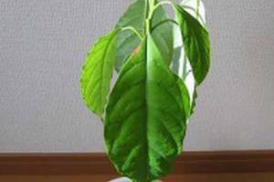 Авокадо выращивание в домашних условиях