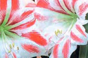 Почему не цветет гиппеаструм, уход