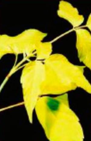 Листья клёна ясенелистого Одессанум