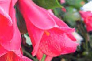 Лапагерия фото, выращивание в домашних условиях