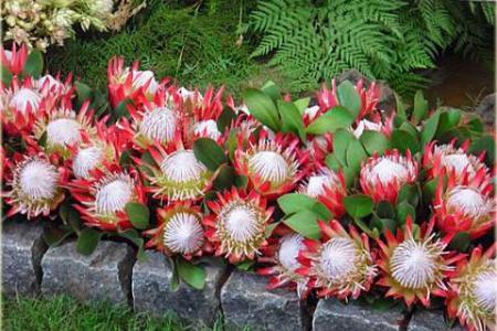 Протея цветок, выращивание из семян, уход, фото
