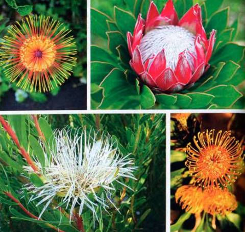 Протея виды и сорта