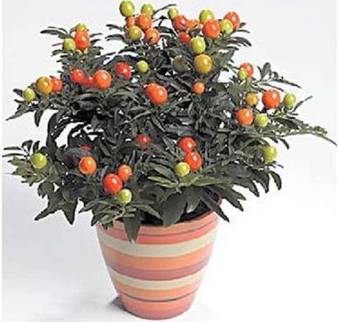 Паслен перечный, или перцевидный (Solanum capsicastrum)