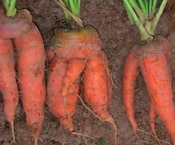 Уродливая морковь причины