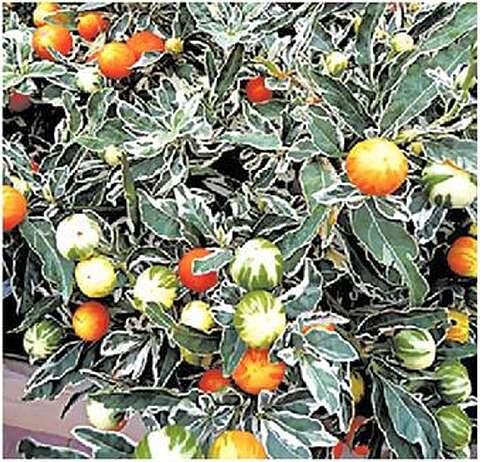 На вариегатной (пестролистной) форме хорошо заметна пестрая окраска незрелых плодов, которая по мере созревания постепенно заменяется равномерной красной или оранжевой