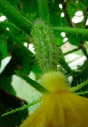 Самоопыляющийся сорт огурца не дал плоды