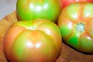 Почему не дозрели томаты?