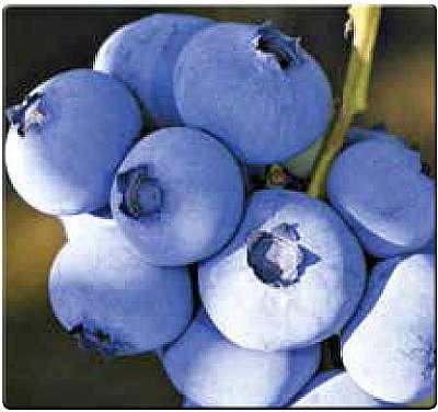 Голубика сорт Блюкроп