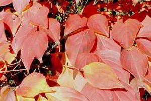 Дерен Коуза выращивание, фото, сорта