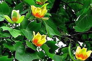 Лириодендрон тюльпанный, тюльпанное дерево