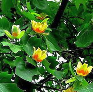 Лириодендрон тюльпанный, или тюльпанное дерево