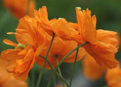Мак однолетний, многолетний, сорта, маки восточный, пионовидный, выращивание из семян