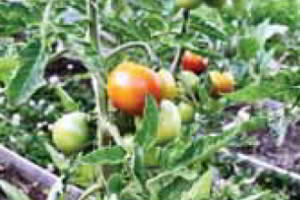 Помидоры и огурцы, выращивание на шпалере