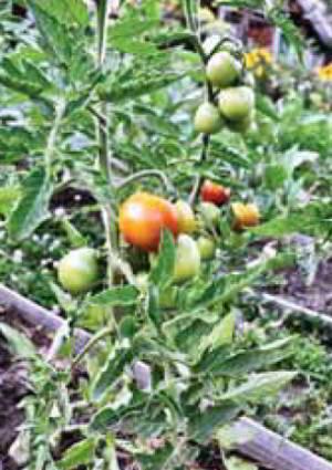 Помидоры выращивание на шпалере