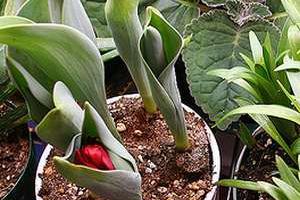 Выгонка тюльпанов  к 8 марта, выгонка крокусов