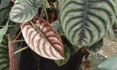 Алоказия медно-красная (A. cuprea)