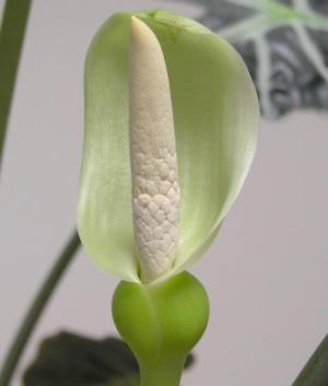 Алоказия цветет