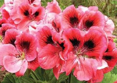 Пеларгония выращивание и уход