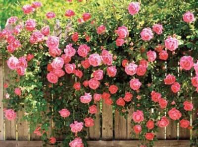 Розы, посадка осенью и весной, снятие укрытия, как правильно открыть розы