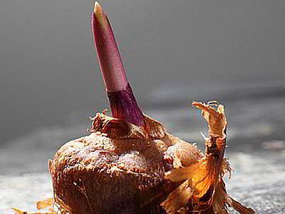 Гладиолусы - выросли большие клубни