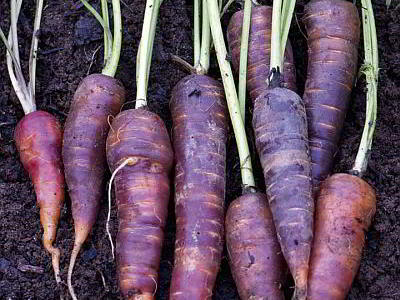 Морковь синяя с фиолетовым оттенком можно ли есть