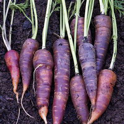 Морковь синяя с фиолетовым оттенком