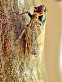 цикадка переносчик столбура