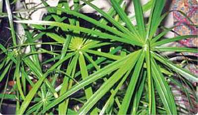 Циперус очереднолистный фото, выращивание