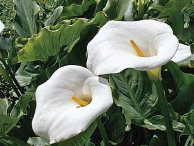 Каллы выращивание, почему не цветут