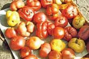 Уродливые помидоры, фасциация томатов