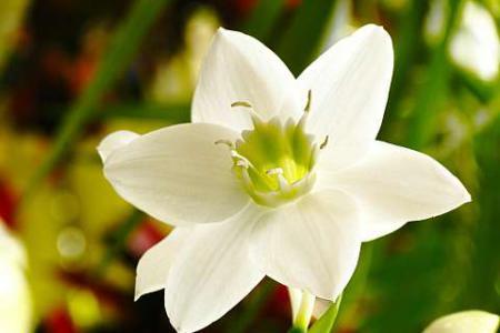 Цветок эухариса