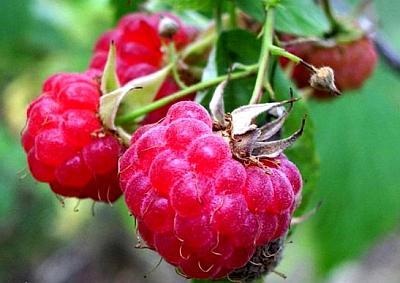 Малина цветет и не плодоносит — виноваты муравьи