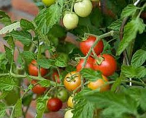 Выращивание томатов из личного опыта