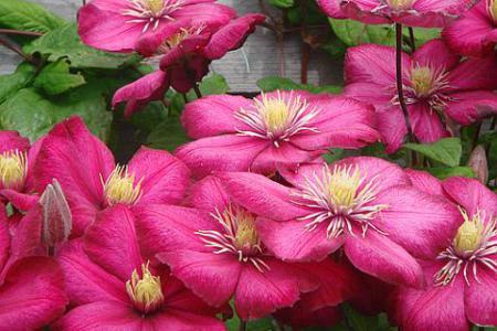 Крупноцветковые клематисы, посадка и уход, сорта