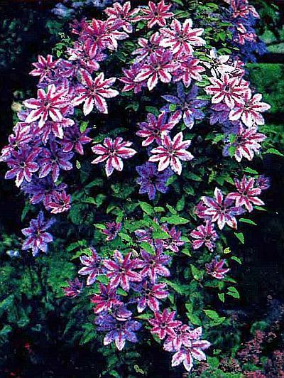 крупноцветковые сорта клематиса