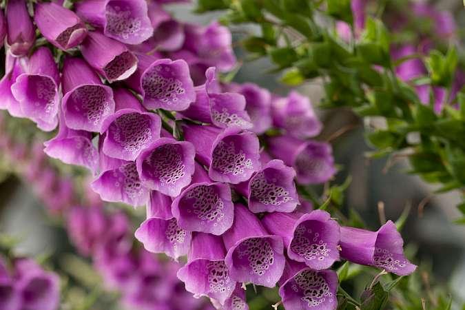 наперстянка пурпурная (Digitalis purpurea)