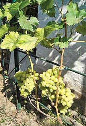 удаление листьев в зоне гроздей для ускорения дозревания