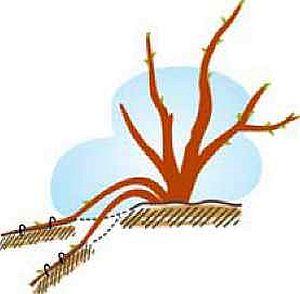 Размножение ягодных кустарников отводками