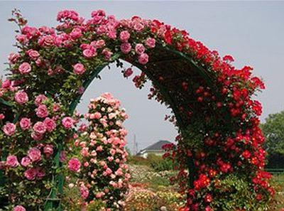 полуплетистые (рамблер) розы