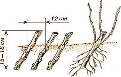 Размножение ягодных кустарников одревесневшими черенками