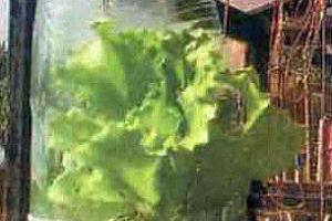 Выращивание листового салата в бутылке