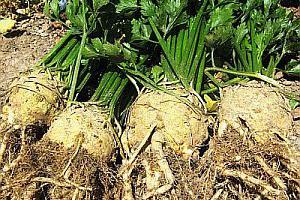 Корневой сельдерей выращивание, посадка и уход