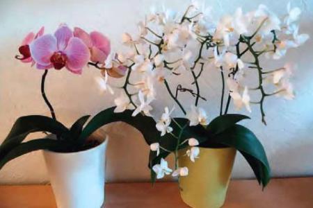 Когда и как пересаживать орхидею фаленопсис фото